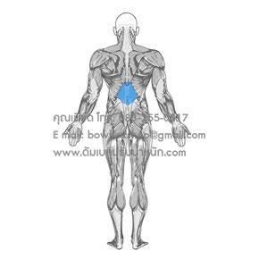 Middle Back กล้ามเนื้อหลังส่วนกลาง