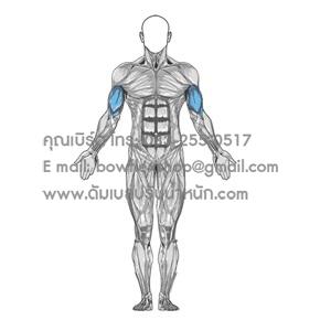 Biceps กล้ามแขน